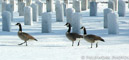 Canada Geese in cemetery, OH